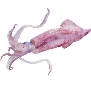 魷魚(冰鮮)