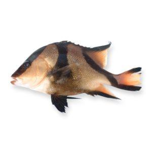 三刀魚 ( NEW )