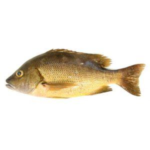 石蚌魚 ( NEW )