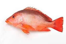 紅魚 ( NEW )